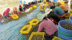 Trung Quốc ngừng mua, giá ốc hương giảm sâu suốt 6 tháng