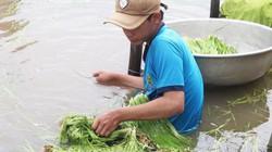 Mùa lũ muộn ở Đồng Tháp Mười: Cá tôm đã ít, hẹ nước còn khan hiếm