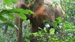 Đàn voi rừng lại xuất hiện, phá hoại cây trồng của người dân