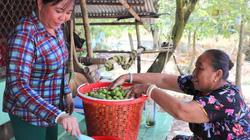 An Giang: Đặc sản mùa nước nổi-trái cà na bán chạy như tôm tươi