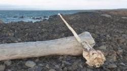 Tìm thấy sừng kỳ lân biển dài 3m nguyên vẹn ở hòn đảo Bắc cực