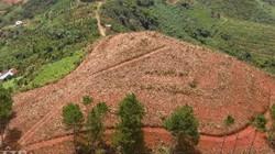 Lâm Đồng: Hàng trăm cây thông trên 20 năm tuổi lại bị cưa hạ