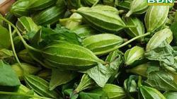 Đắk Nông: Loài quả rừng dân dùng làm thuốc quý hàng trăm năm nay