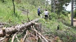 Vụ hạ hàng trăm cây thông hơn 20 năm: Mời 3 đối tượng lên làm việc