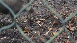 Lần đầu phát hiện lợn biết dùng công cụ để đào đất, xây tổ