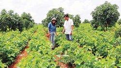 Đăk Nông: Cùng liên kết sản xuất, đói nghèo lùi xa