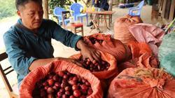 Trồng thứ cây ra quả đỏ thơm lừng ở gốc, lão nông kiếm bộn tiền