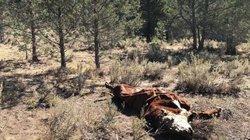 5 con bò bị hút cạn sạch máu bí ẩn, nghi do người ngoài hành tinh