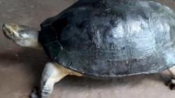"""Vĩnh Long: Đang nhổ bông súng đụng trúng cụ rùa """"khổng lồ"""" nặng 8kg"""