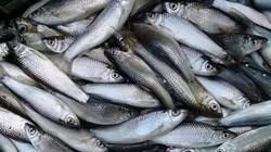 Đồng Tháp mùa xả lũ: Ruộng tốt nhờ thêm phù sa, dân bắt cá kiếm tiền