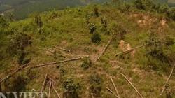 Lâm Đồng: Hai tiểu khu trồng thông liên tiếp bị chặt phá thảm hại
