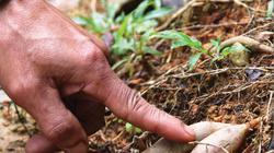 Chuyện lạ TT-Huế: Trồng loài sâm quý tiến vua chống phá rừng