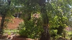 Chuyện lạ Tây Ninh: Trồng rau rừng cổ thụ khổng lồ, bán 100 triệu