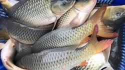 Nuôi cá ruộng mùa nước nổi, sau 3-4 tháng bắt hàng tấn