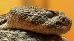 """Trúng độc loài rắn này, người lớn """"hóa"""" thành trẻ em"""
