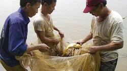 Lạ mà hay: Nuôi cá chép ruộng lúa, chả phải cho ăn con nào cũng bự