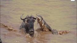 Lội sông bị cá sấu khổng lồ chặn đớp, linh dương đầu bò vẫn thoát hiểm khó tin