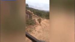 Đang tham quan hoang dã, sợ chết khiếp khi bị sư tử đuổi theo đòi vồ