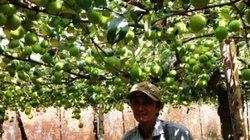 """Vùng đất dân mắc màn """"nuôi táo"""", hái được trái nào lái khuân đi hết"""
