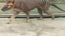 """""""Ác thú"""" sói lai hổ cực kỳ hung dữ tái xuất sau 80 năm tuyệt chủng?"""