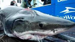 """Bắt được cá mập """"quái vật"""" dài 4m vớt vết thương từ kẻ thù khổng lồ"""