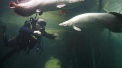 Loài cá nước ngọt lớn nhất thế giới nặng 200kg có lớp vảy như áo giáp chống đạn