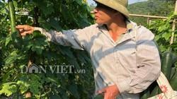 Huyện Kỳ Sơn (Hòa Bình): Dân đổi đời nhờ trồng bạt ngàn bí xanh