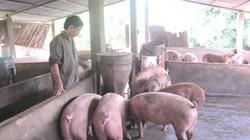 Nông dân lo mất mùa heo Tết vì dịch tả lợn châu Phi bủa vây
