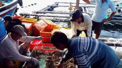 Giá tôm hùm tăng tới 300.000 đồng/kg, nông dân vẫn không có lãi