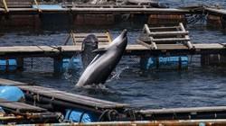 Cá heo Nhật Bản bị bắt hàng loạt để người Trung Quốc mua vui