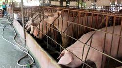 """Liều nuôi lợn giữa """"bão dịch"""", bán giá 63.000 đồng/kg lãi tiền tỷ"""