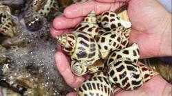 Chuyện lạ TT-Huế: Bỏ loài ốc này nuôi ở ao tôm, ai ngờ trúng lớn