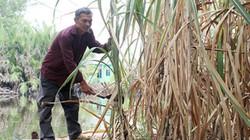 """Lãi thấp """"bóp nghẹt"""" cây mía, nông dân càng trồng càng nghèo"""