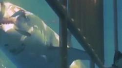 Video: Vết thương kinh hoàng của cá mập trắng do quái vật khổng lồ tấn công