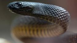 Những động vật sở hữu nọc độc có thể gây chết người trong nháy mắt