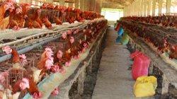 Nhập khẩu thịt gà tăng đột biến: Không làm ảnh hưởng giá gà?