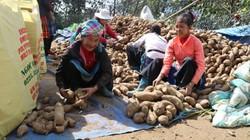 Lào Cai: Hối hả thu hoạch hơn 100ha sâm đất, giá chỉ như khoai lang