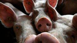 Thiếu thịt lợn, dân Trung Quốc chuyển sang ăn thịt chó, giá lại siêu rẻ