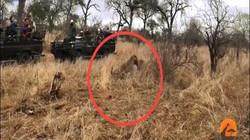 Tưởng mất xác với báo đốm, lợn rừng bất ngờ lật ngược tình thế khi kẻ thứ 3 xuất hiện