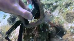 Video: Bạch tuộc cướp camera của thợ lặn, dùng cả 8 xúc tu giằng co