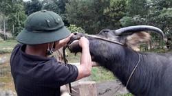 Quảng Trị: Nghi ngờ trâu, bò giảm nghèo lây lan dịch bệnh