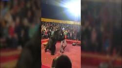 Nga: Bắt gấu khổng lồ nặng 270 kg làm trò, người huấn luyện bị tấn công kinh hoàng