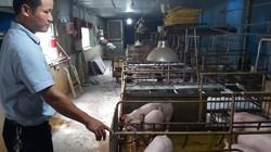 Đàn lợn thử nghiệm vaccine dịch tả lợn châu Phi đã sinh cả đàn con