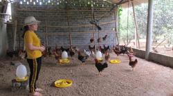 Xứ Mường nuôi gà ri đặc sản, bán giá 110.000 đồng/kg