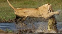Trận chiến kinh hoàng khi sư tử qua sông bị cá sấu mai phục