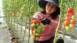 Đà Lạt: Bỏ 11 siêu thị, lên núi trồng rau thủy canh lời 3 tỷ/năm