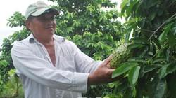 Cà Mau: Ghép mãng cầu lên gốc bình bát dại, trái nào cũng bự