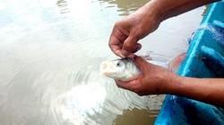 Lạ mà hay: Nuôi loài cá suýt tuyệt chủng dưới ao sen, bán đắt tiền