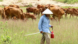 Tây Ninh tăng năng suất bò thịt ngoại hình đẹp, lớn nhanh