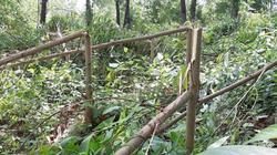 Điều tra kẻ gian chặt hơn 4.000 cây keo của dân